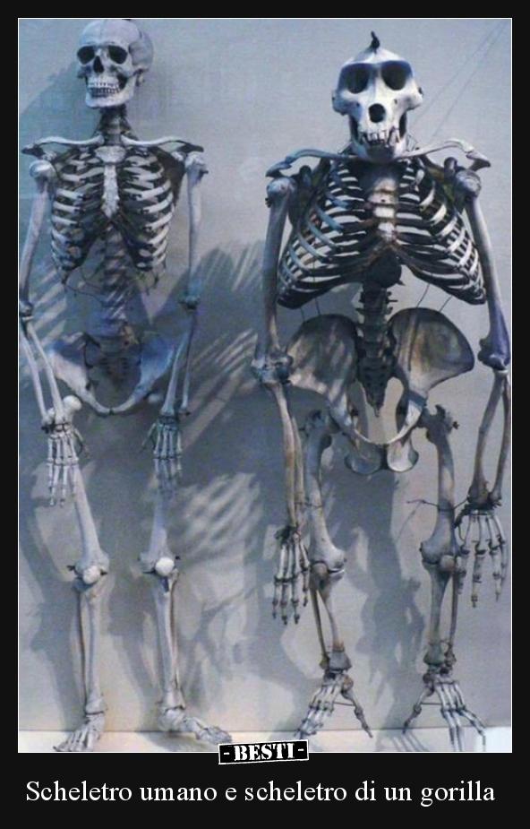 Scheletro Umano E Scheletro Di Un Gorilla Bestiit Immagini